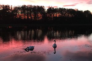 swans swimming on idyllic pink lake